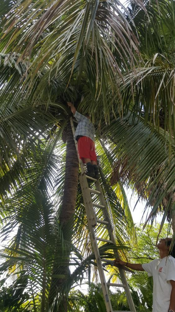cutting-down-coconuts