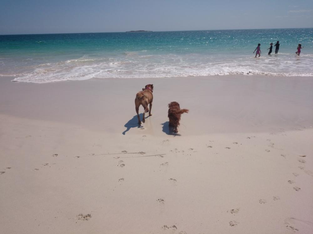 Mastiff cross and Cavalier King Charles spaniel heading back into water at the beach, Jurien Bay, Western Australia