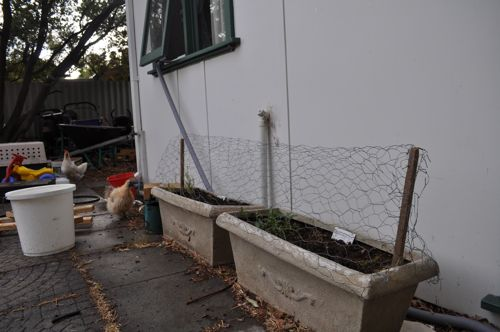 herb planters protected by chicken wire