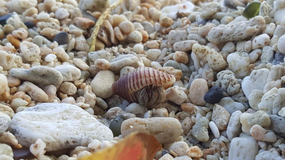 Hermit crab at Flying Fish Cove, Christmas Island