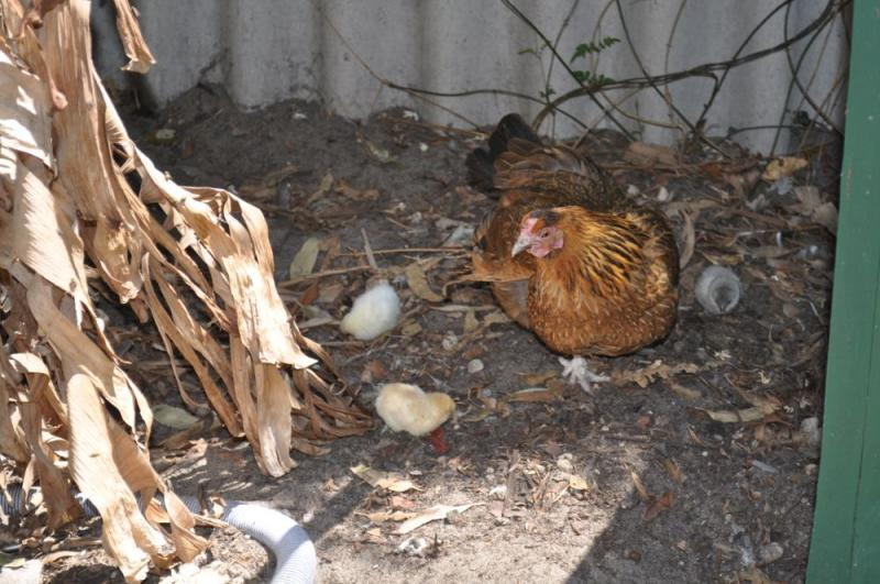 Japanese bantam cross with three chicks