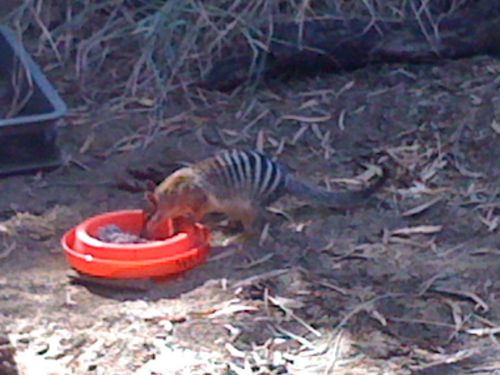 Numbat at the Perth Zoo dining on termite paste