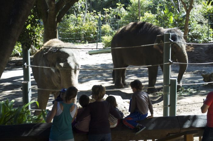 Two female elephants at the Perth Zoo
