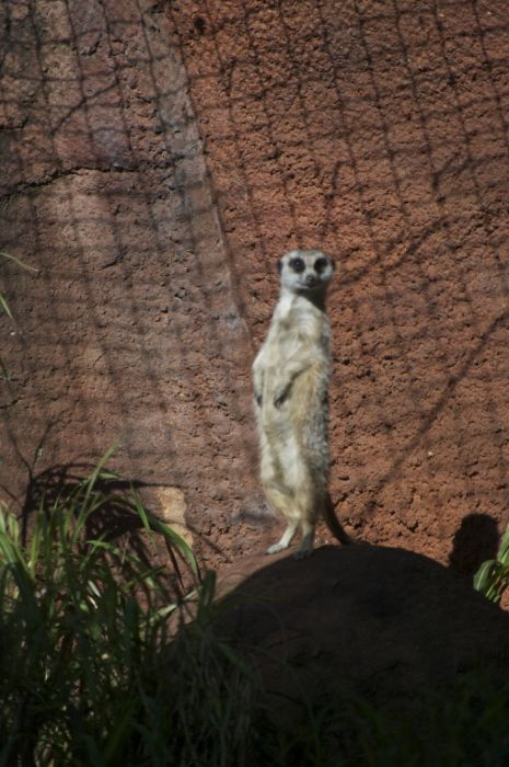 A meerkat sentry at the Perth Zoo