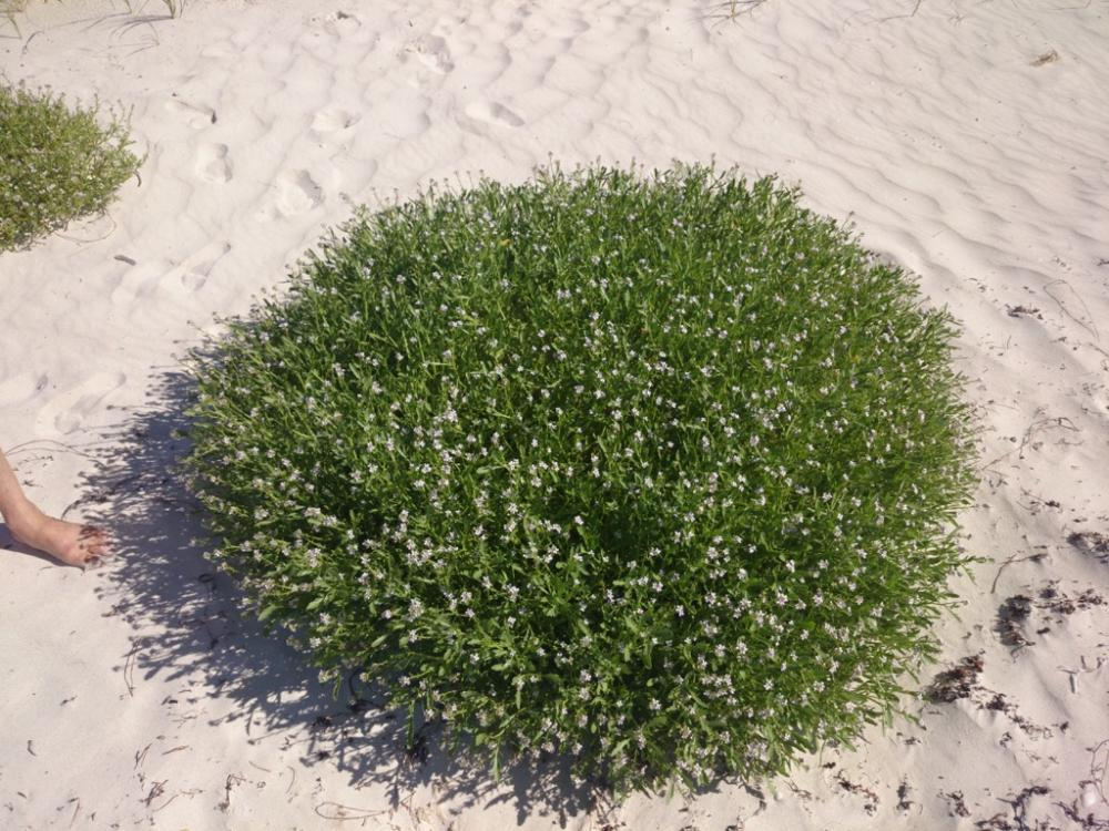 Round beach shrub (apparently a Scaevola) at the marina at Jurien Bay, Western Australia