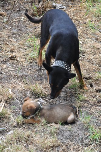 Rar (staffy x rotti x kelpie x) checking out Tali (staffy x mastiff pup)