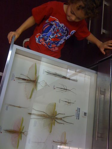 Stick insect display WA Museum