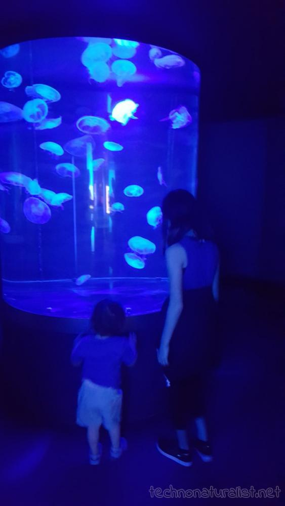 11yo-2yo-looking-at-jellyfish-aqwa