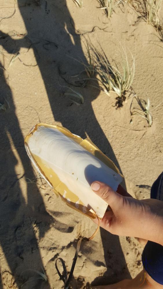 9yo-cuttlefish-shell