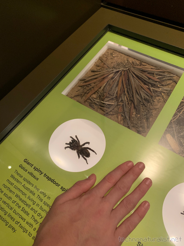giant spider in exhibition, Boola Bardip Museum, Perth, Western Australia