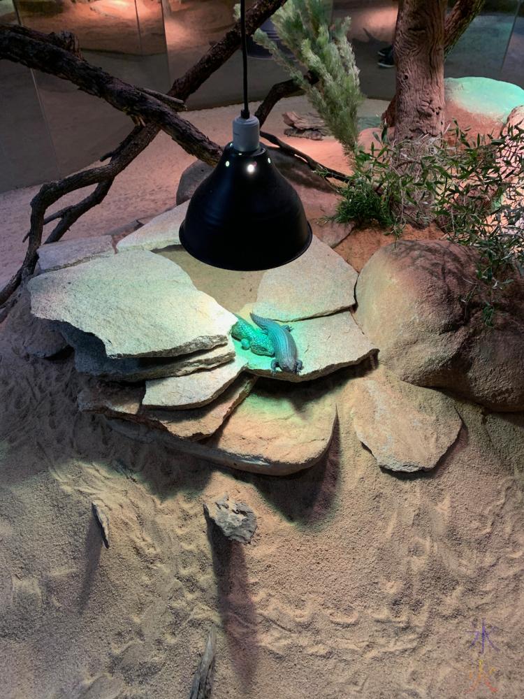 lizards keeping warm under heat lamps at Perth Zoo, Western Australia