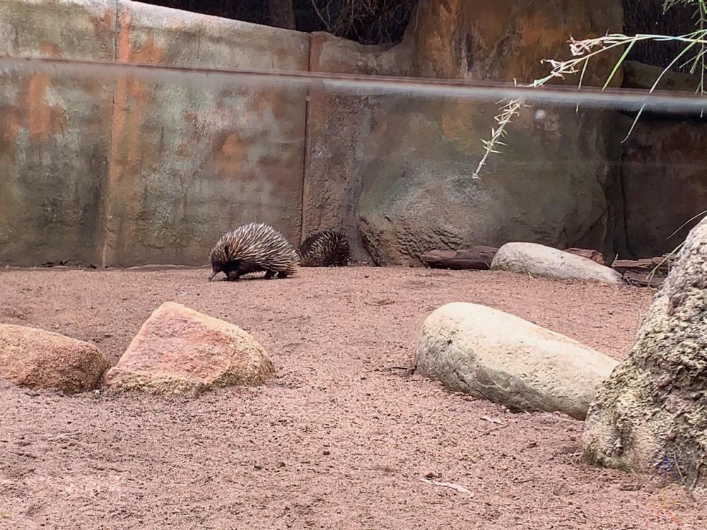 echidna at Perth Zoo, Western Australia
