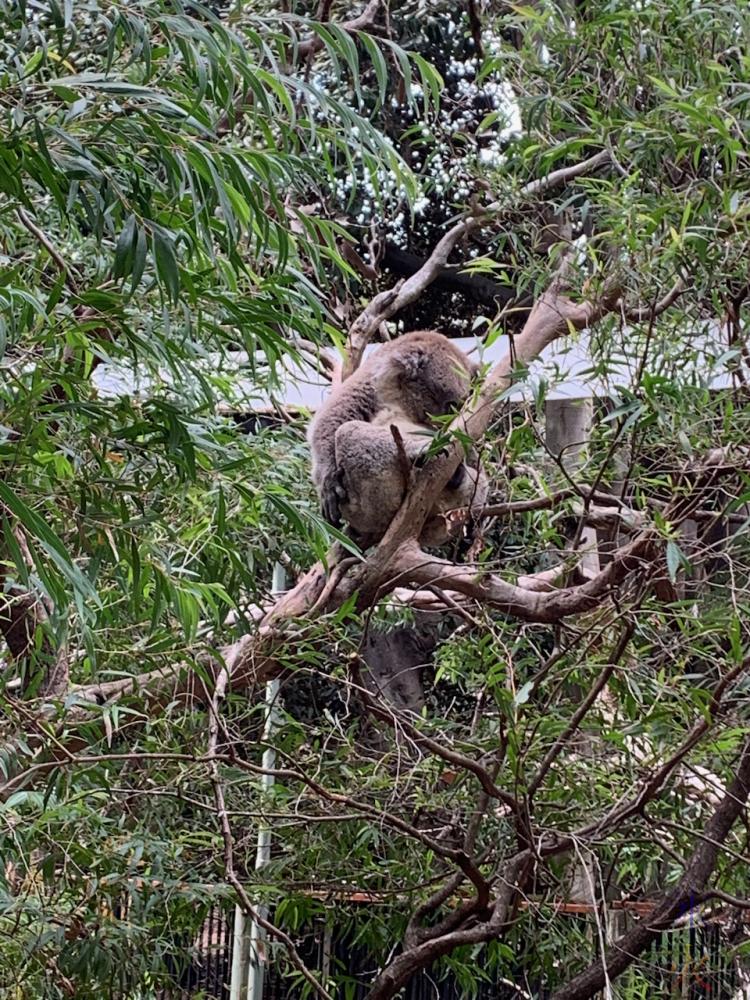 koala at Perth Zoo, Western Australia