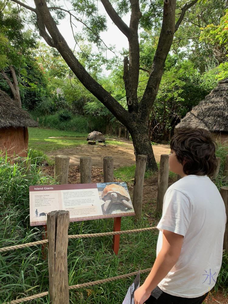 12yo looking at Galapagos tortois. Perth Zoo, Western Australia