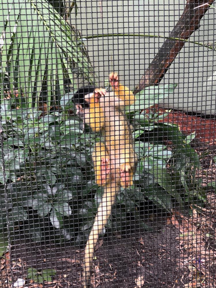 squirrel monkey at Perth Zoo, Western Australia, taken by 14yo