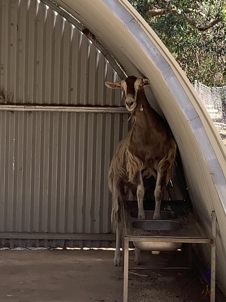 goat at Cohunu Koala Park, Western Australia