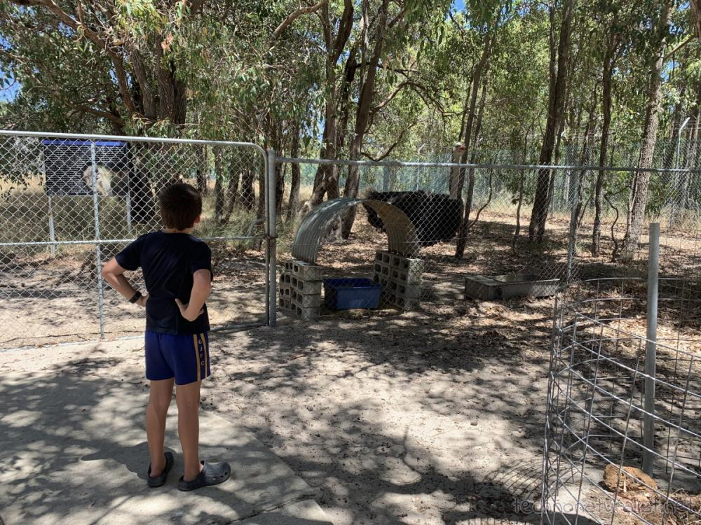 10yo checking out ostrich at Cohunu Koala Park, Western Australia