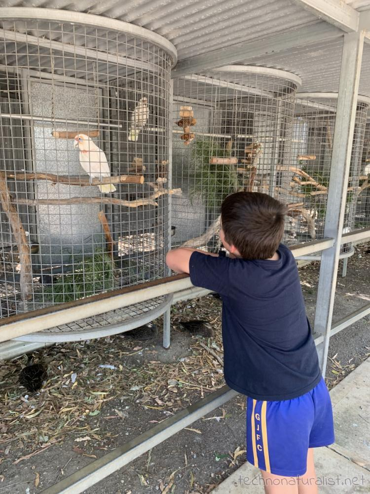 10yo looking at cockatoos at Cohunu Wildlife Park, Western Australia