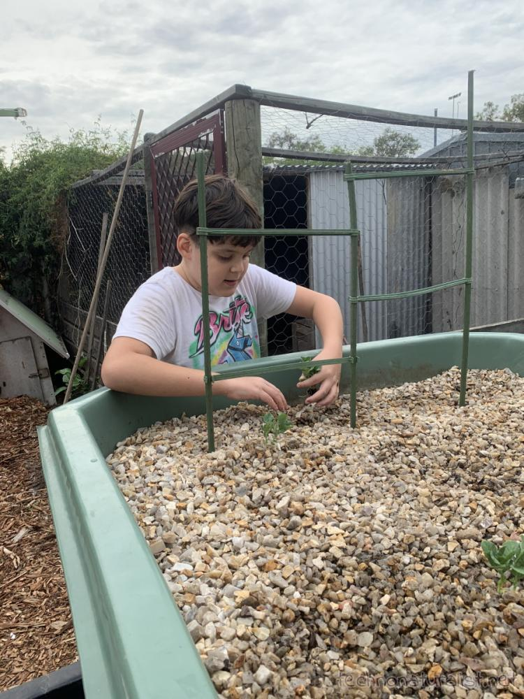 11yo planting seedlings in aquaponics