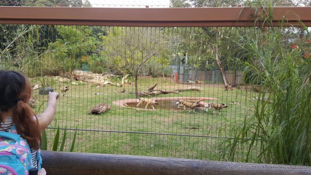 african-painted-dogs-playing-chasey-perth-zoo