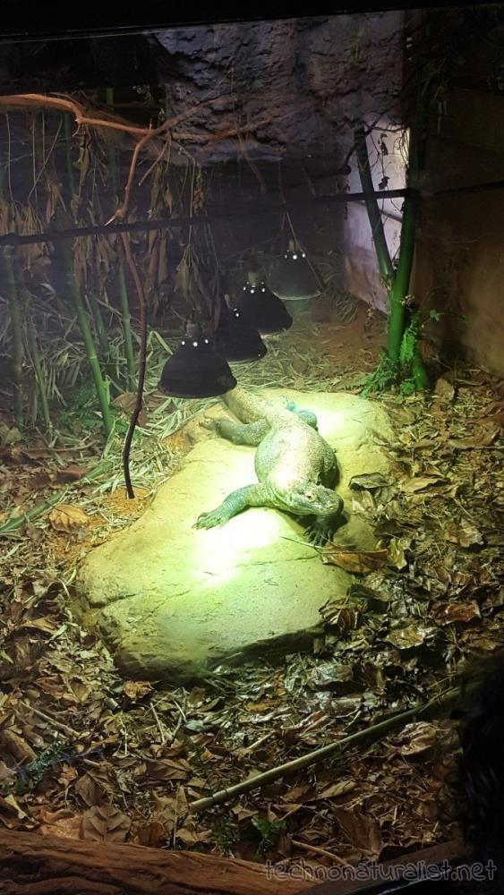 komodo-dragon-under-heat-lamps-perth-zoo