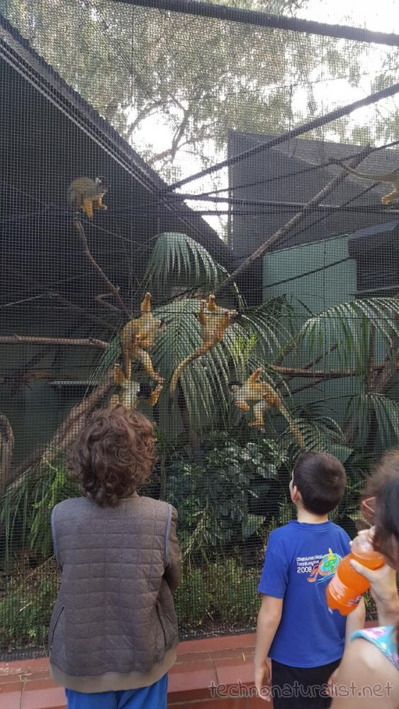 monkey-swarm-perth-zoo