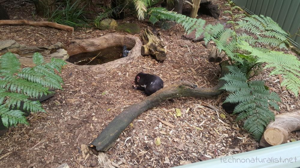 tassie-devils-perth-zoo