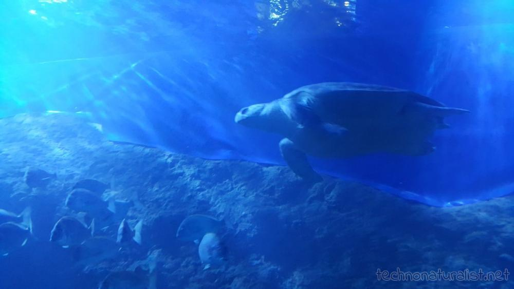 turtle-underwater-tunnel-aqwa
