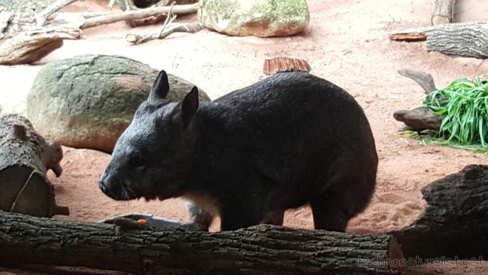 wombat-perth-zoo